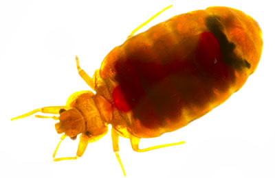, How to Control Bed Bugs, Patriot Pest Services