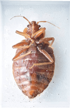 , Bed Bugs, Patriot Pest Services