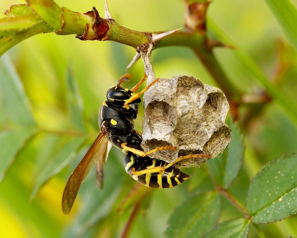 , Wasps, Patriot Pest Services